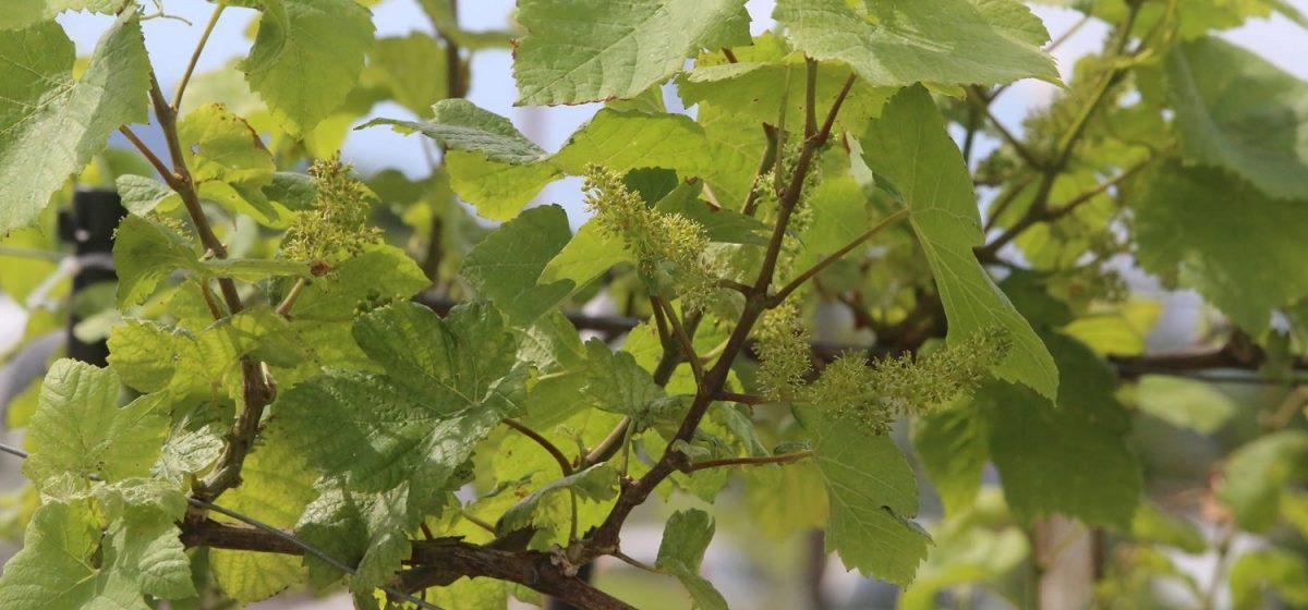 下北ワイン畑オーナー制度